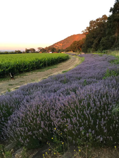 Lavender in bloom at Lavender Oak Vineyard